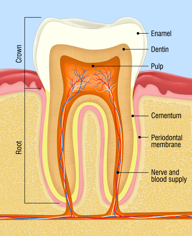 The Anatomy of a Tooth - Microcopy News Blog